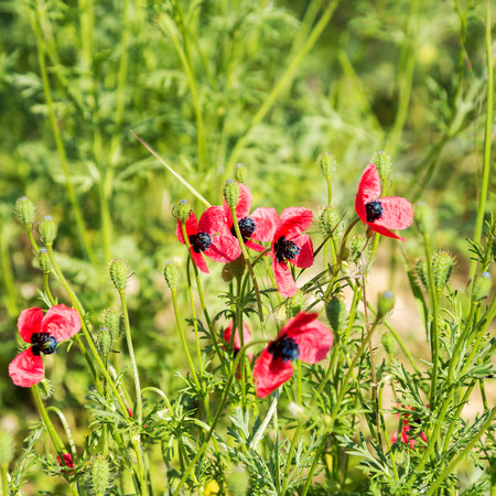 production area: Authentic landscape of wild red poppies on a background of green grass as background for design. Selective focus and space in the area for the production of advertising blur compositions.