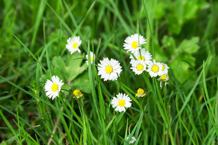 Beautiful white daisies. Soft selective focus. Closeup Image. photo