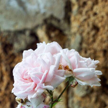 formulation: Delicate pink rose, bokeh as background for the formulation of promotional tracks. Soft selective focus.