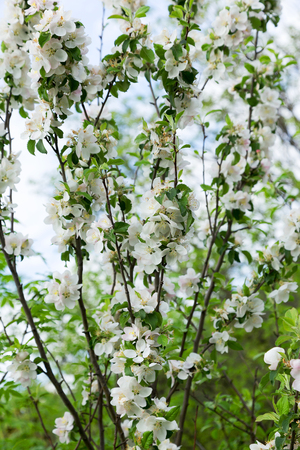 viability: Authentic landscape blooming apple trees against the sky, backlit, as a background for setting advertising or text.
