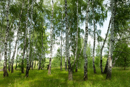 grassplot: Authentic beautiful summer landscape birch grove in Russia on a clear sunny forbid Stock Photo
