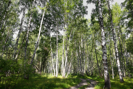 grassplot: Authentic beautiful summer landscape birch grove on a clear sunny day