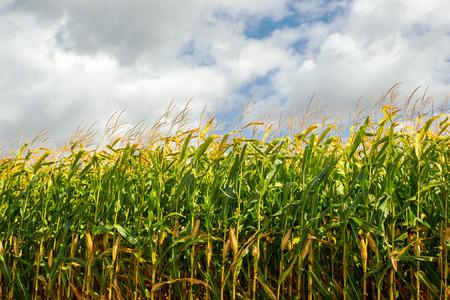 Corn field, corn on the cob. Selective Focus