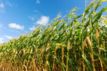 옥수수 밭, 암 나무 열매에 옥수수. 선택적 초점 스톡 콘텐츠