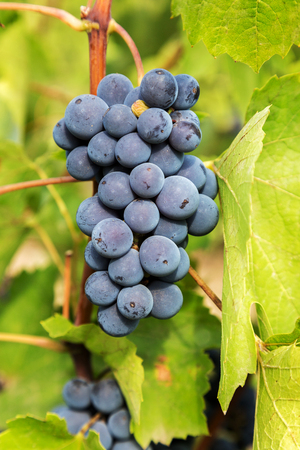 purple red grapes: Purple red grapes with green leaves on the vine. fresh fruits. Selective Focus