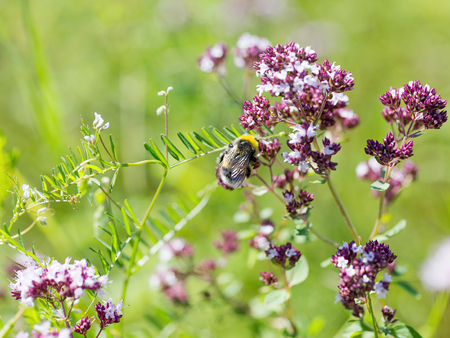 production area: Beautiful bright flower mint. Bees pollinate the flowers, collect nectar and pollen from flowers. Selective focus, the space in the area blur composition for the production of advertising. Stock Photo
