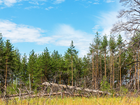ecological disaster: Landscape forest, fallen trunks of trees without crowns, after the heatwave and fires in the beautiful blue sky. Ecological disaster. Stock Photo