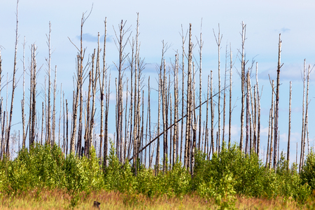 ecological disaster: The charred trunks of trees without crowns after a forest fire, selective focus. Ecological disaster. Stock Photo
