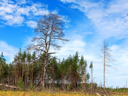 ecological disaster: Landscape forest, fallen trunks of trees without crowns, after the heatwave in the beautiful blue sky. Ecological disaster.