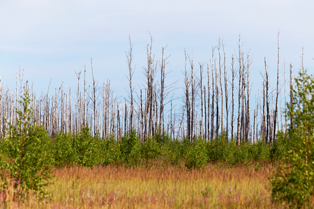 ecological disaster: Landscape forest, fallen trunks of trees without crowns, after the heatwave and fires, selective focus. Ecological disaster. Stock Photo