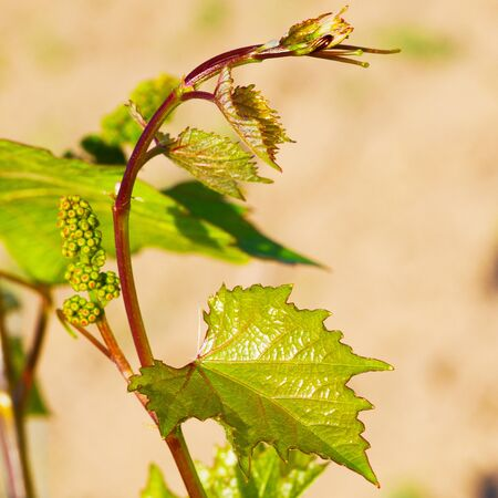 sauternes: Spring buds sprouting on a grape vine in the vineyard Stock Photo