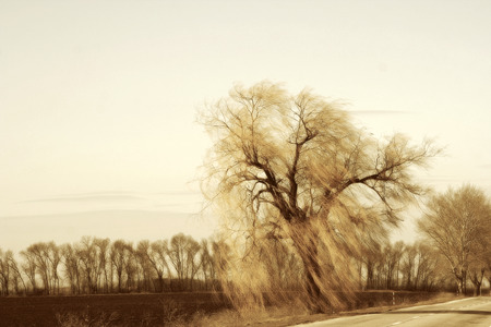 gust: Authentic landscape Willow on the roadside, long branches with a strong gust of wind against the sky as the background for setting advertising and text.