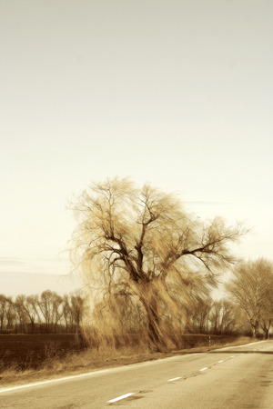 gust: Authentic landscape of willow branches in a strong wind against the sky, spring day, as a background for setting advertising and text.