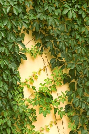 ivy vine: Green ivy vine leaves on the yellow wall of building Stock Photo
