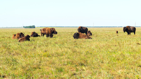 A herd of bison resting in the open steppe in the background Stock Photo