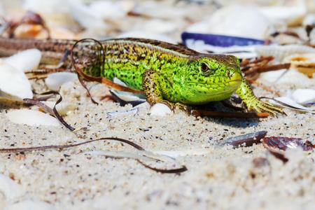 Green Lizard on the sand in focus (Lacerta viridis, Lacerta agilis) is a species of lizard of the genus Green lizards.