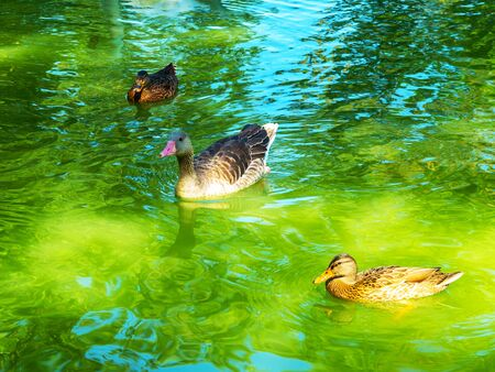 flock of wild ducks swimming on the lake