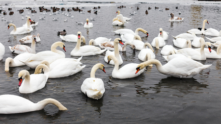 scour: White swans, wild ducks and gulls swimming in sea water in winter. Fighting seagulls beg for food from people. Birds wintering cold.