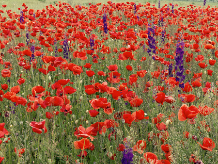Flowers Red poppies blossom on wild field. Beautiful field red poppies with selective focus. Red poppies in soft light. field red opium poppy. Natural Drugs. Glade red poppies. Lonely red poppy. blur