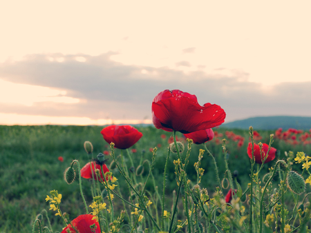 Flowers Red poppies blossom on wild field. Beautiful field red poppies.