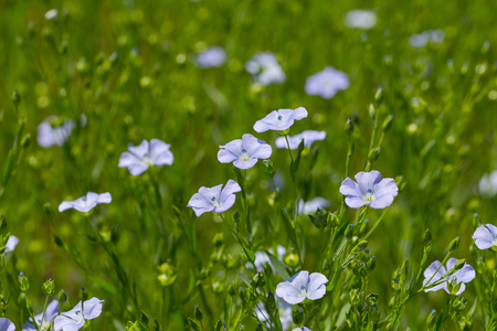 linum: Flax blooms. Green flax field in summer Sunny day. Agriculture, the cultivation of flax. Selective focus