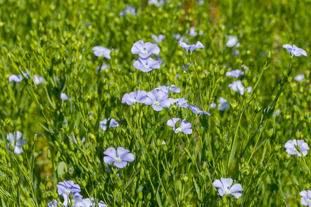 Flax blooms. Green flax field in summer Sunny day. Agriculture, the cultivation of flax. Selective focus