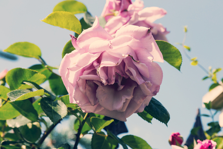 Wonderful vintage blossom of pink rose closeup. Beautiful vintage roses in the garden. Stock Photo - 82106255