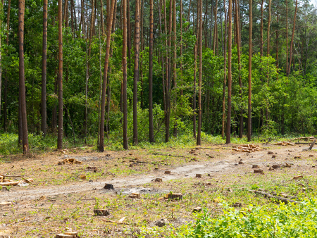 IIlegal chaotic deforestation in Ukraine with a low economy leads to baldness and climatic natural disasters. Extraction of amber in Ukraine Chopping wood