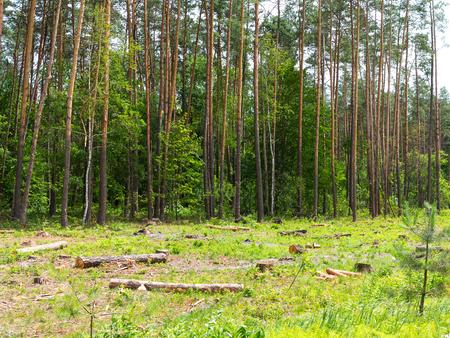 calvicie: La deforestación caótica ilegal en Ucrania con una economía baja conduce a la calvicie y los desastres naturales climáticos. Extracción de ámbar en Ucrania Cortar madera