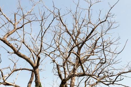 huge tree: Dry tree. Branches of dry tree on background of blue sky. Environmental protection.