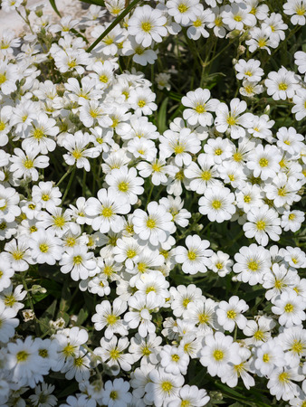 Little white flowers background authentic small flowers with little white flowers background authentic small flowers with barely noticeable green leaves floral textured mightylinksfo