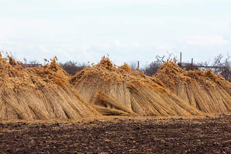 Upright against a tree, bundles harvested reed in a flood plain next river are drying and waiting for transport. Rural landscape
