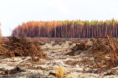 Deforestación. Desarraigo de raíces de árboles. La deforestación caótica en el país con la economía pequeña conduce a la calvicie ya los desastres naturales climáticos. Destrucción de bosques a minería ilegal de ámbar. Foto de archivo