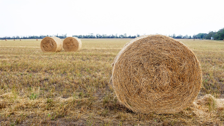 Field with hay bales. Bales straw left after wheat harvesting, shallow depth of field. Agricultural landscape