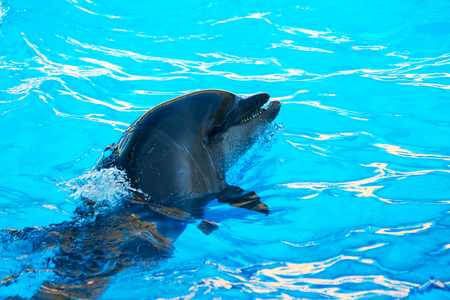 bottlenose: Glad beautiful dolphin smiling in a blue swimming pool water on a clear sunny day