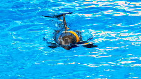 bottlenose: Dolphin catches and eats the fish. Glad beautiful dolphin smiling in blue swimming pool water on clear sunny day. Stock Photo