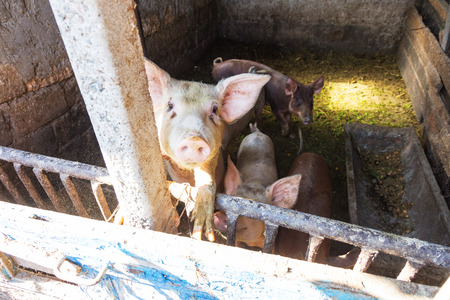 Household small pig sniffs air in farm. Pig farming is raising and breeding of domestic pigs. It is a branch of animal husbandry. Pigs are raised principally as food