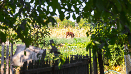 Brown foal grazing in the yard on a summer day. Rural landscape through the branches of the trees.