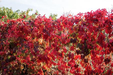 秋の紅葉。美しい明るい背景秋。赤、黄色と緑は、太陽の光線で金属メッシュのフェンスに残します。 写真素材