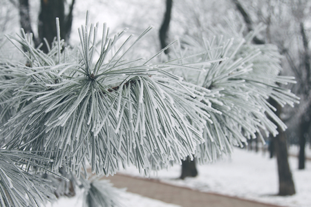 Winter snowy pine Christmas tree scene. Fir branches covered with hoar frost Wonderland. Winter is coming New year. Calm blurry snow flakes winter background with copy space.