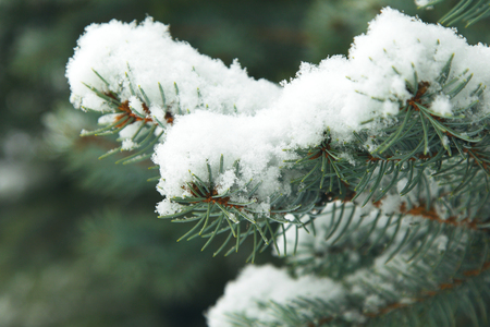 Fir branches covered with hoar frost Wonderland. Winter snowy pine Christmas tree scene. Calm blurry snow flakes winter background with copy space. Winter is coming New year.