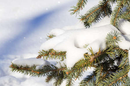 snowy field: Winter snowy pine Christmas tree scene. Fir branches covered with hoar frost Wonderland. Winter is coming New year. Calm blurry snow flakes winter background with copy space.