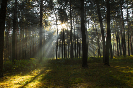 Sun rays breaking through trees in a pine forest. Autumn. Dawn. Foto de archivo
