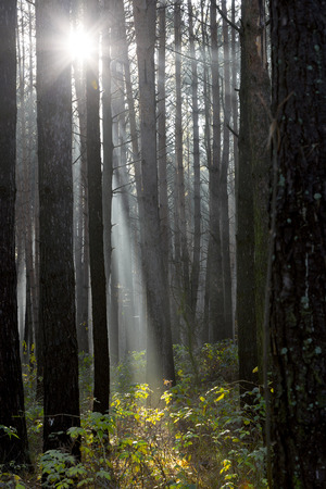 Sun rays breaking through trees in a pine forest. Autumn. Dawn. Stock Photo