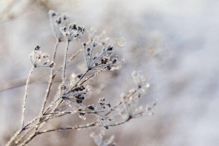 Ice-covered grass on a snow-covered field. Plants in frost, nature background. Winter landscape, scene