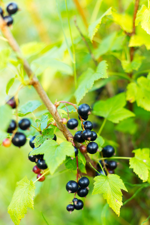 Berries of black currant in focus on blurred background of green garden Imagens