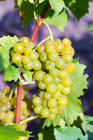 Large bunches of red wine grapes hang from an old vine in warm afternoon light Stok Fotoğraf