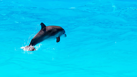 Dolphin cub is sporting in blue water