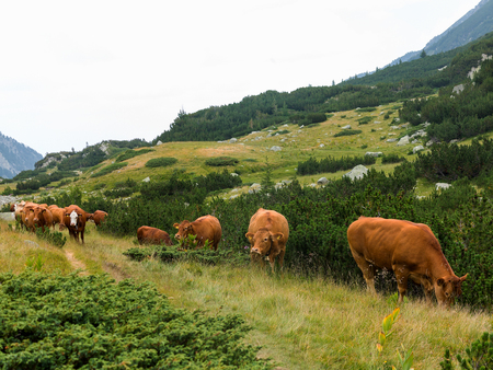 Herd of cows grazing in mountains, on summer sunny day