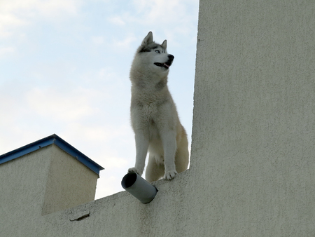 Young dog Husky stands on high concrete fence and looks away in the late evening